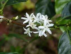 Coffee Plant Flower