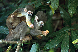 Equador Squirrel Monkeys