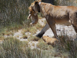 Lion and cub in Tanzania