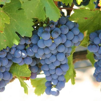 Argentina Wine Tour - Malbec grapes